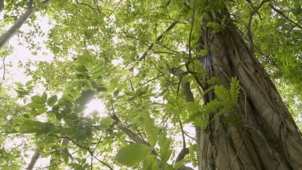 Krása slunce zářící zelenými listy velkého stromu fouká ve větru.