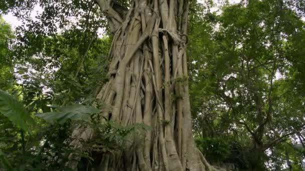 Velký strom v tropickém deštovém lese, obrovský Banyan Tree roste v přírodním parku.