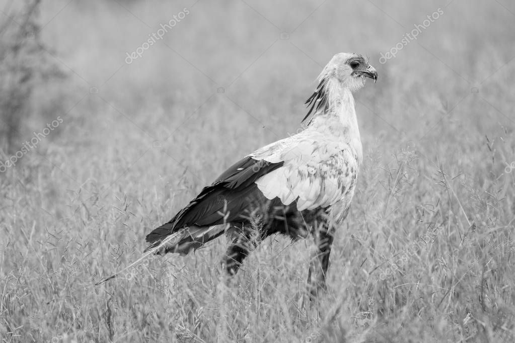 Secretary bird hunting for food in long grass, Kruger National Park, South Africa