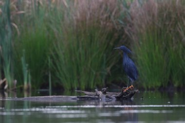 Black heron with yellow feet standing on log in dam water, South Africa