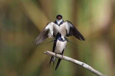 White-throated swallows looking for a mating partner, Marievale, South Africa