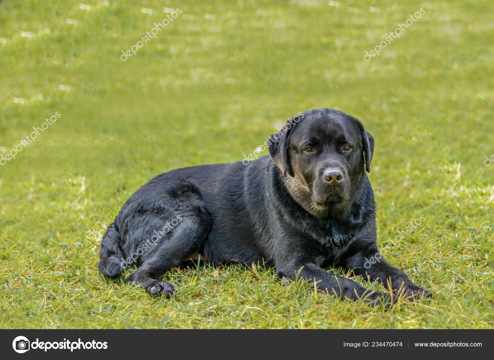 Photos Lebra Dogs Lebra Black Dog Setting Relex Lawn Green Background Stock Photo C Virenders800 234470474