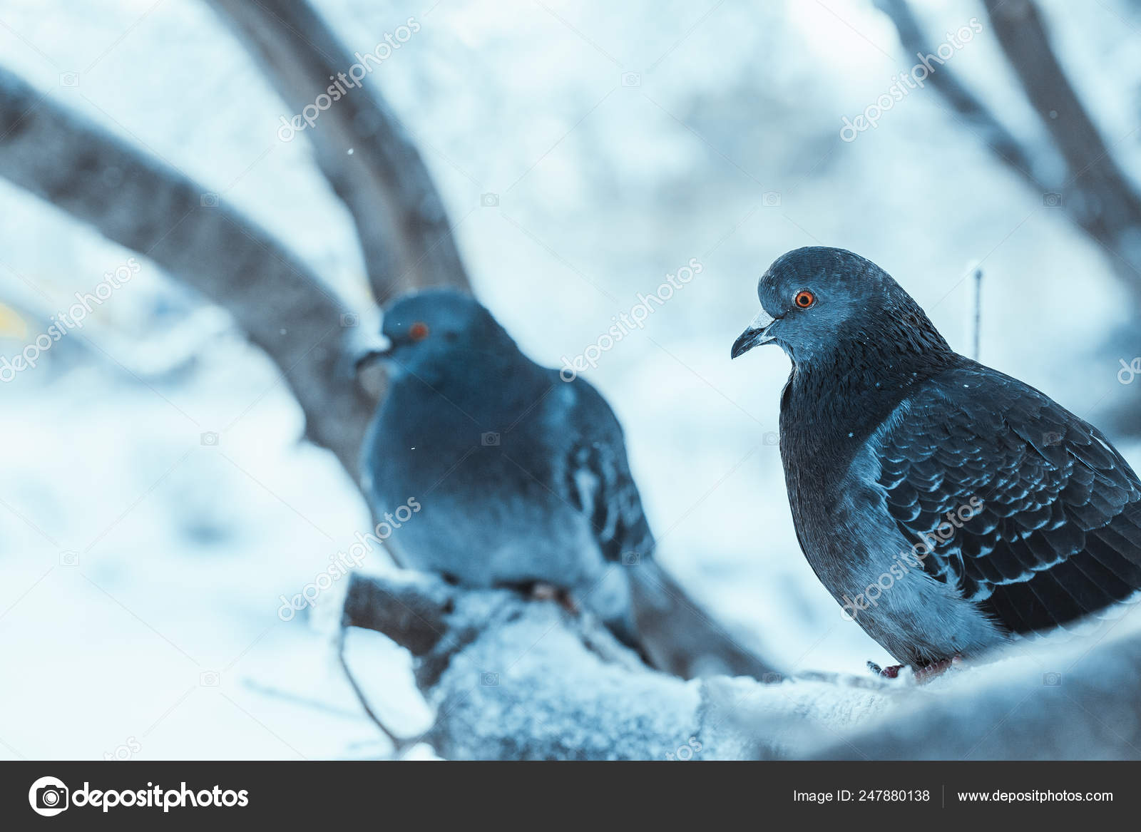 Pigeons Sitting Hunched On A Branch In The Winter Day Stock Photo