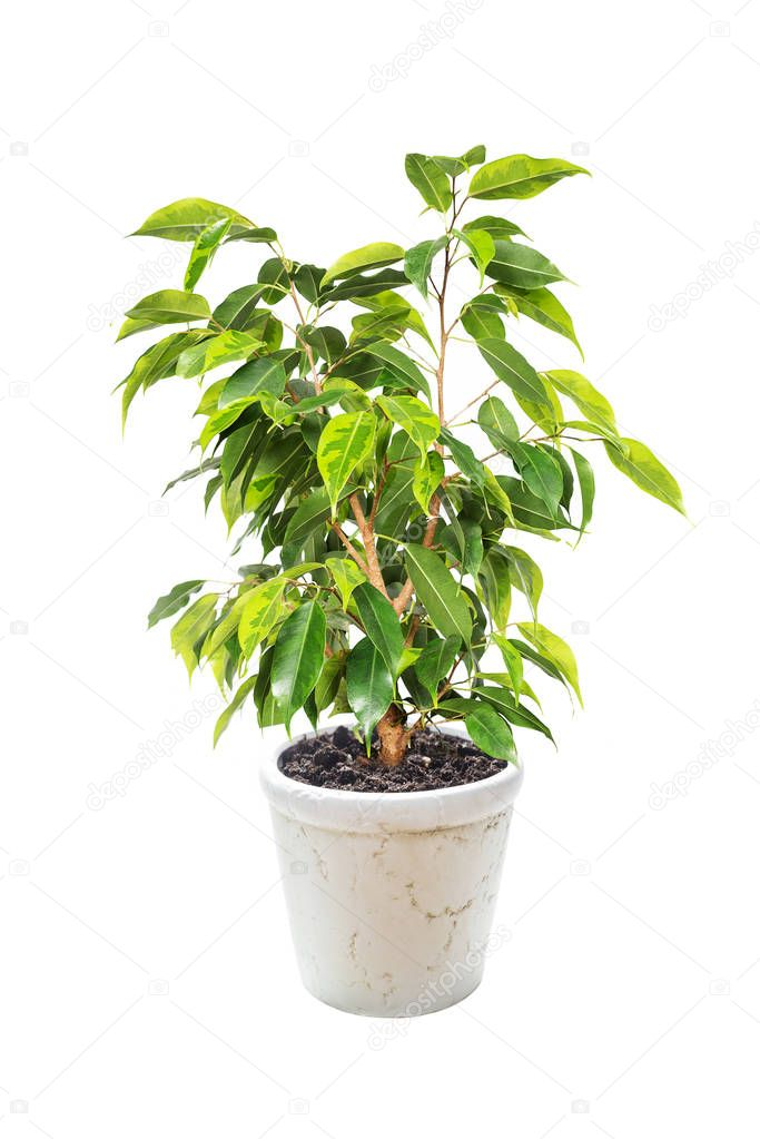 Ficus Benjamina on white background