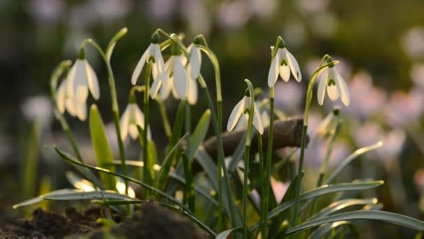 Detail sněženky jarní květiny v mělké hloubce pole pohledu, s pěknou rozmazané zeleným pozadím a ve světle západu slunce contre-jour