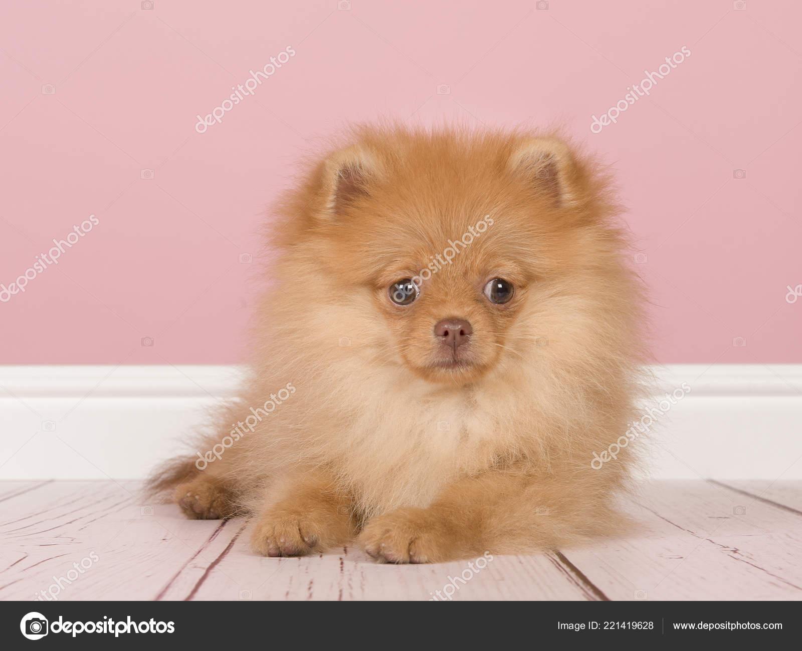 Mini spitz hund