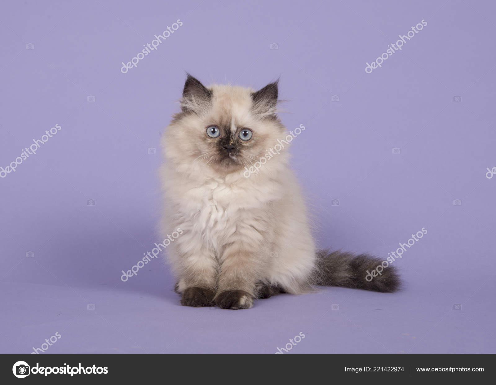 Seal Point Persian Longhair Kitten Blue Eyes Sitting Purple