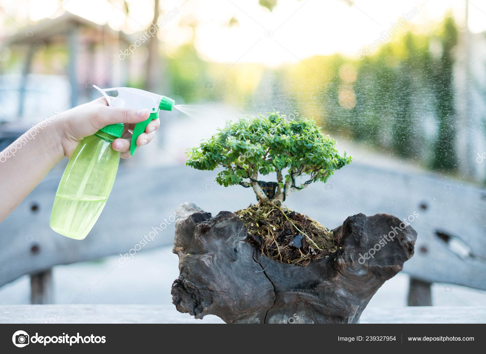 Bonsai Care Tending Houseplant Growth Watering Small Tree Tree Treatment Stock Photo C Chatchawan130839 Gmail Com 239327954