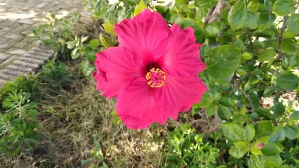 Közelről Red Hibiscus Virág Spanyolországban