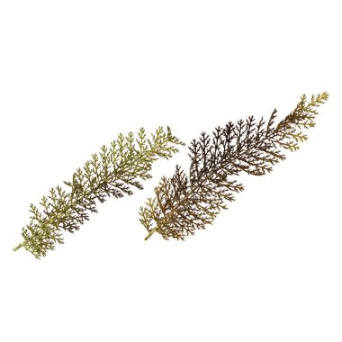Herbarium with dry pressed plants on white. Green autumn leaves isolated on white background. Top view. Macro image of herbarium, botany.