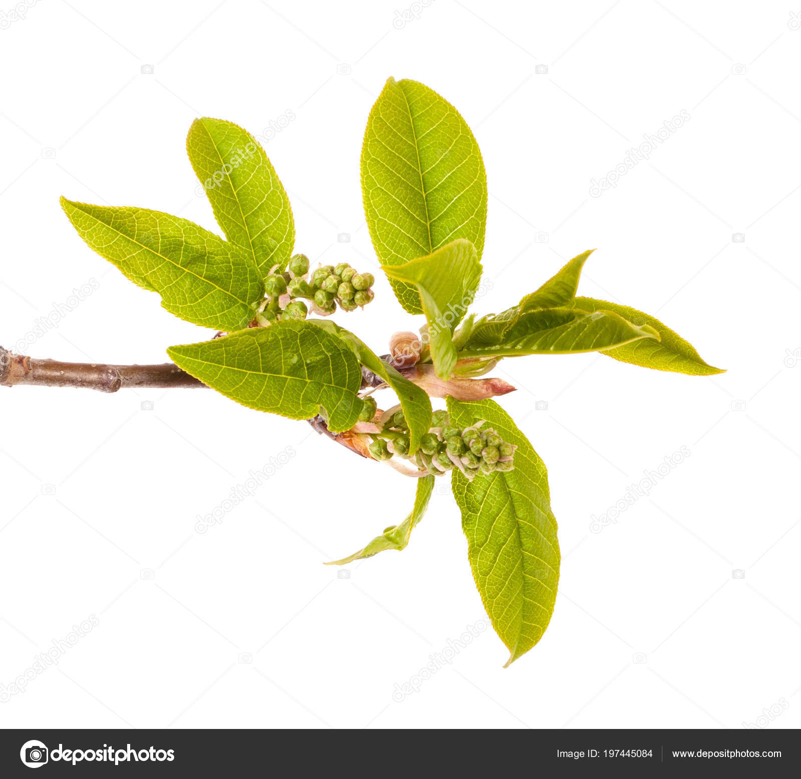 Bird Cherry Branch Small Leaves Isolated White Background