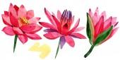 Červené lotosové květy. Izolované aplikace lotus květy ilustrace prvek. Ilustrace akvarel zázemí.