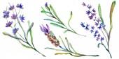 Květy fialové levandule. Divoký Jarní kvítí izolované na bílém. Ručně tažené květy levandule v aquarelle. Ilustrace akvarel zázemí
