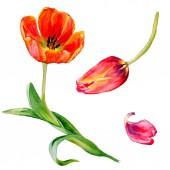 Fényképek Csodálatos piros tulipán virág, zöld levelekkel. Kézzel rajzolt botanikai virágok. Akvarell háttér illusztráció. Elszigetelt piros tulipán ábra elem.