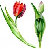 Csodálatos piros tulipán virág, zöld levelekkel. Kézzel rajzolt botanikai virágok. Akvarell háttér illusztráció. Elszigetelt piros tulipán ábra elem.
