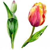 Úžasný červený Tulipán květy se zelenými listy. Ručně tažené botanické květin. Ilustrace akvarel zázemí. Prvek ilustrace izolované červené tulipány