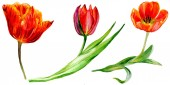 Photo Amazing red tulip flowers with green leaves. Hand drawn botanical flowers. Watercolor background illustration. Isolated red tulips illustration element.