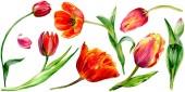 Csodálatos piros tulipán virág, zöld levelekkel. Kézzel rajzolt botanikai virágok. Akvarell háttér illusztráció. Elszigetelt piros tulipán ábra elem