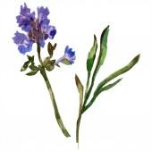 Levendula lila. Virágos botanikai virág. Vad tavaszi vadvirág elszigetelt fehér. Kézzel rajzolt levendula virág, akvarell. Akvarell háttér illusztráció