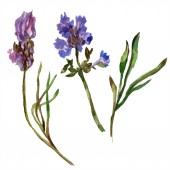Květy fialové levandule. Divoký Jarní kvítí izolované na bílém. Ručně tažené květy levandule v aquarelle. Ilustrace akvarel zázemí.