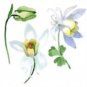 Aquilegia bílé květy a bud. Krásný Jarní kvítí izolované na bílém. Ilustrace akvarel zázemí