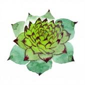 Fényképek Csodálatos zamatos. Akvarell háttér illusztráció. Az Aquarelle kézzel elszigetelt nedvdús növény.