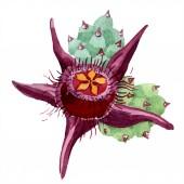 Duvalia virág. Elszigetelt duvalia ábra elemet. Akvarell háttér illusztráció. Az Aquarelle kézzel rajzolt zamatos.
