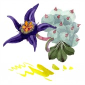 Fotografie Duvalia flower. Isolated duvalia illustration element. Watercolor background illustration. Aquarelle hand drawing isolated succulent and stains.