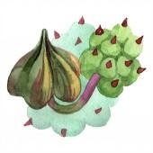 Duvalia virág. Elszigetelt duvalia ábra elemet. Akvarell háttér illusztráció. Az Aquarelle kézzel rajzolt zamatos