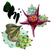 Fotografie Duvalia Blumen isolierte Abbildung Elemente. Aquarell Hintergrund Illustration. Aquarell-Handzeichnung isoliert Sukkulenten und Flecken