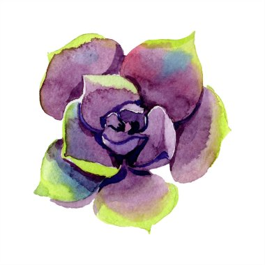 Amazing succulent. Watercolor background illustration. Aquarelle hand drawing isolated succulent plant.