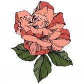 Vector Rose. Floral botanical flower. Coral color engraved ink art. Isolated rose illustration element.