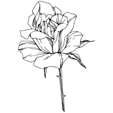 Vector Rose. Floral botanical flower. Engraved ink art. Isolated rose illustration element. Beautiful spring wildflower isolated on white. clip art vector