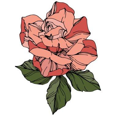 Vector Rose. Floral botanical flower. Coral color engraved ink art. Isolated rose illustration element. clip art vector