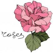 Krásná růže květ. Růžová barva gravírování inkoust umění. Izolované růže obrázek prvek. Wildflower se zelenými listy izolované na bílém.