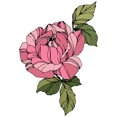 Beautiful Rose Flower. Pink color engraved ink art. Isolated rose illustration element. Wildflower with green leaves isolated on white. clip art vector