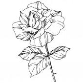 Vektor Rose. Virágos botanikai virág. Vésett tinta art. Elszigetelt Rózsa ábra elemet. Szép tavaszi vadvirág elszigetelt fehér