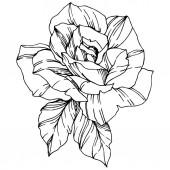 Vektor Rose. Květinové botanické květin. Ryté inkoust umění. Izolované růže obrázek prvek. Krásný jarní wildflower izolované na bílém.