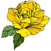 Fotografia Rose di vettore. Botanico floreale. Arte di inchiostro inciso. Elemento isolato illustrazione rosa. Wildflower bella primavera isolato su bianco