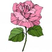 Fotografia Bel fiore di rosa. Colore rosa incisa arte di inchiostro. Elemento isolato illustrazione rosa. Wildflower con foglie verdi isolato su bianco