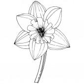 Fényképek Vektor nárcisz virág. Virágos botanikai virág. Fekete-fehér vésett tinta art. Elszigetelt nárcisz ábra elem fehér háttér