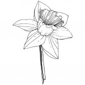 Fotografie Vector Narcissus flower. Floral botanical flower. Black and white engraved ink art. Isolated narcissus illustration element on white background.