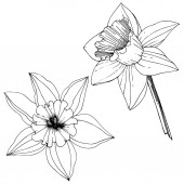 Fotografie Vector Narcissus flowers. Black and white engraved ink art. Isolated daffodils illustration element on white background.