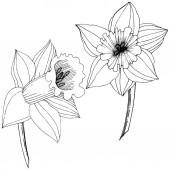 Fényképek Vektor nárcisz virág. Fekete-fehér vésett tinta art. Elszigetelt Nárciszok ábra elem fehér háttér.
