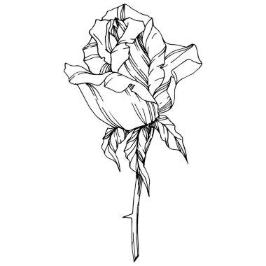 Vector Rose. Floral botanical flower. Engraved ink art. Isolated rose illustration element. Beautiful spring wildflower isolated on white. stock vector