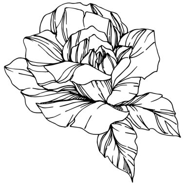 Vector Rose. Floral botanical flower. Engraved ink art. Isolated rose illustration element. Beautiful spring wildflower isolated on white.