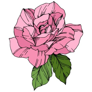 Beautiful Rose Flower. Pink color engraved ink art. Isolated rose illustration element. Wildflower with green leaves isolated on white. stock vector