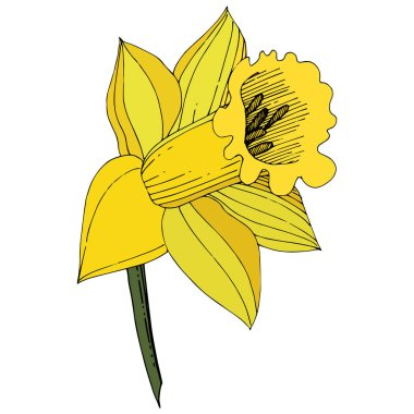 Vector Narcissus. Floral botanical flower. Yellow engraved ink art. Isolated narcissus illustration element on white background. clip art vector
