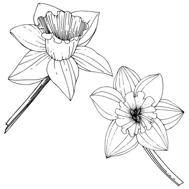 Vector Narcissus flowers. Black and white engraved ink art. Isolated daffodils illustration element on white background. stock vector