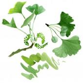 Zelená ginkgo biloba s listy izolované na bílém. Ginkgo biloba akvarel kresba izolované ilustrace prvek